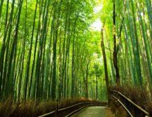 El bambú japonés, una lección de perseverancia